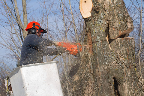 Tree surgeon trims a tree.jpg