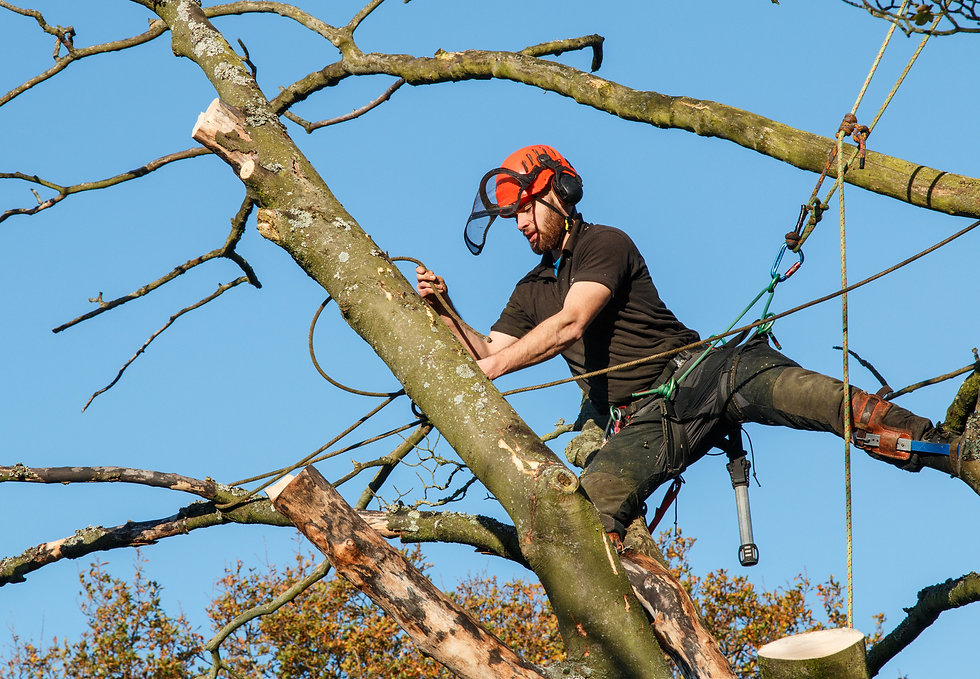 Tree surgeon cutting branches off a tree.jpg
