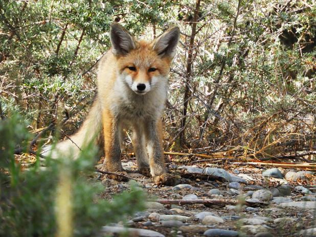 Himalyan Red Fox