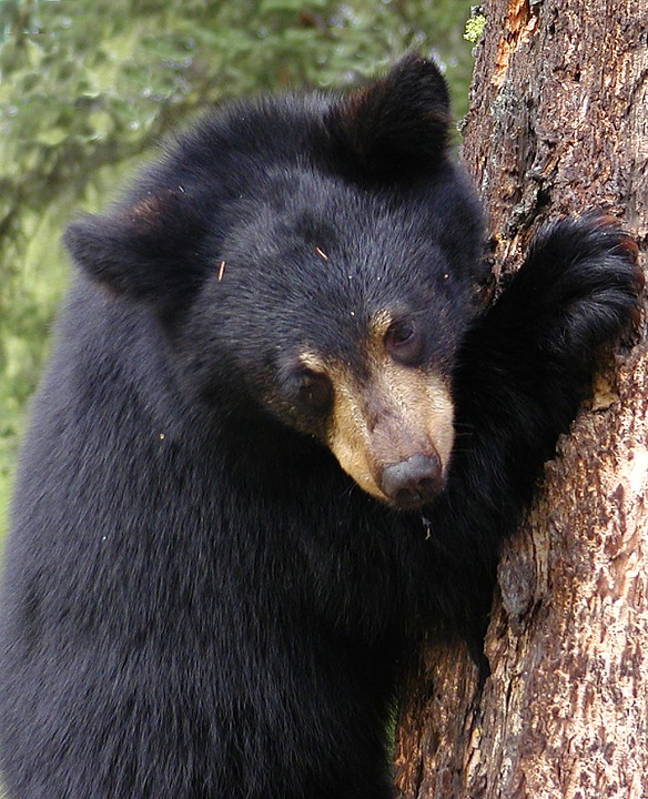 black bear, tree