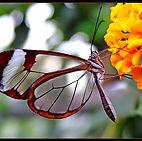 butterfly, flower, transparent