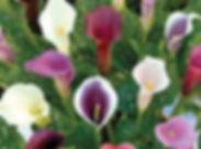 flowers, lilies