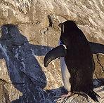 penguin, shadow, rock