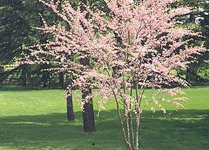 Plants_pink tree.jpg