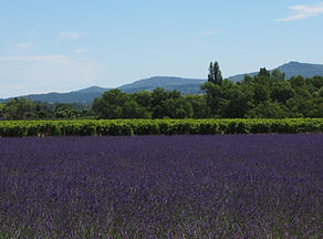 lavender_field_lavender_1521453.jpg