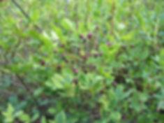 Plants_huckleberries.jpg