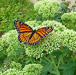 monarch butterfly, plant