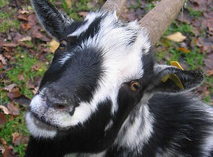 goat, animals, farm