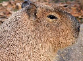 gfp_capybara.jpg