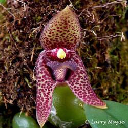 Bulbophyllum disciflorum