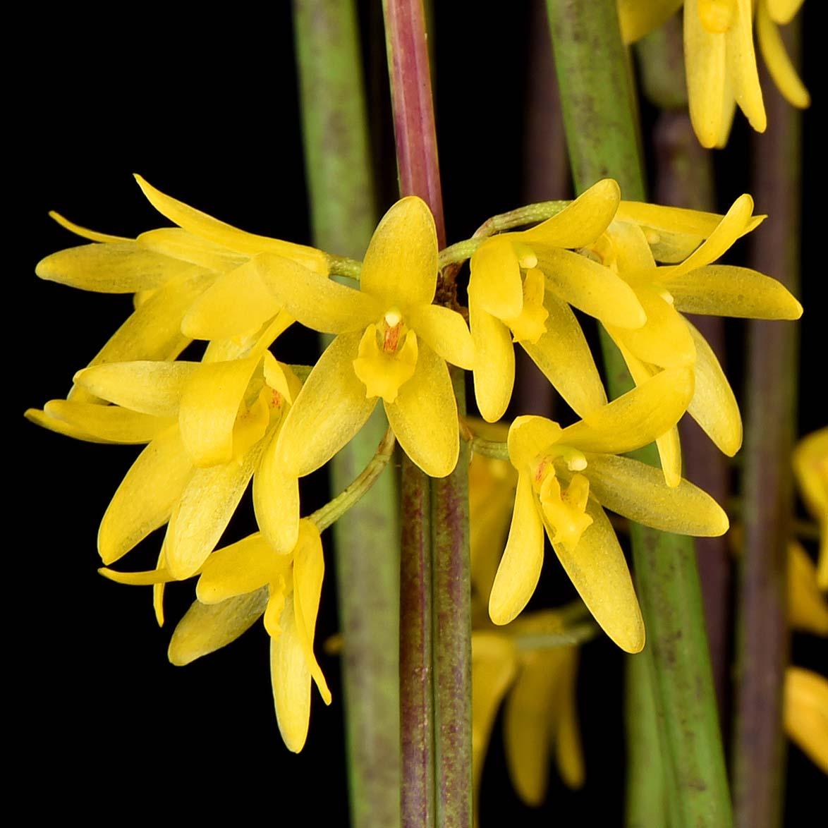 Octomeria juncifolia