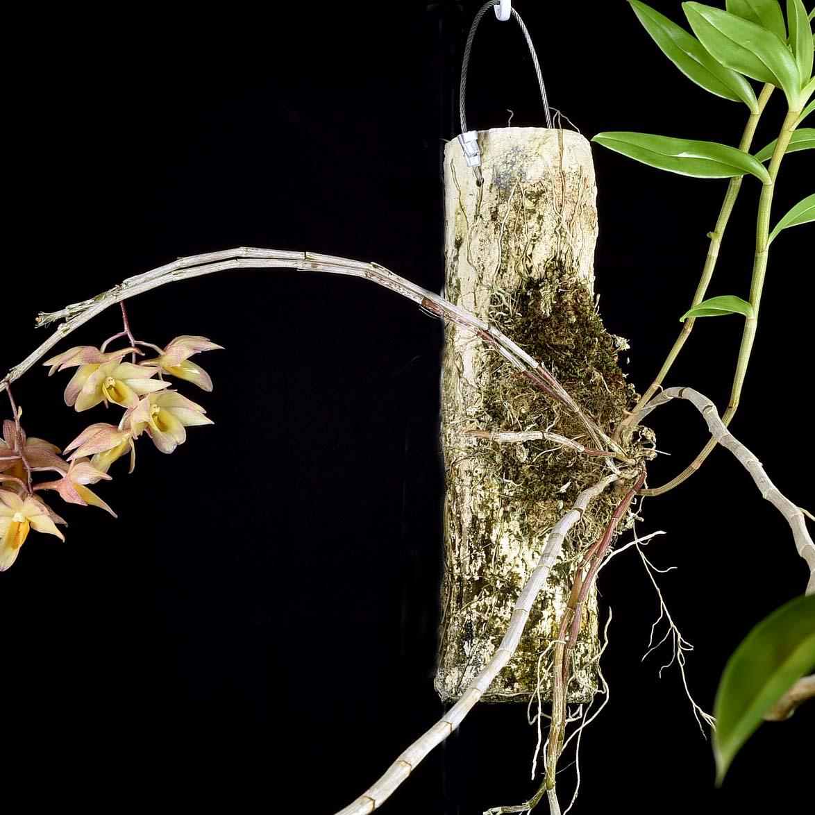 Dendrobium cymboglossum