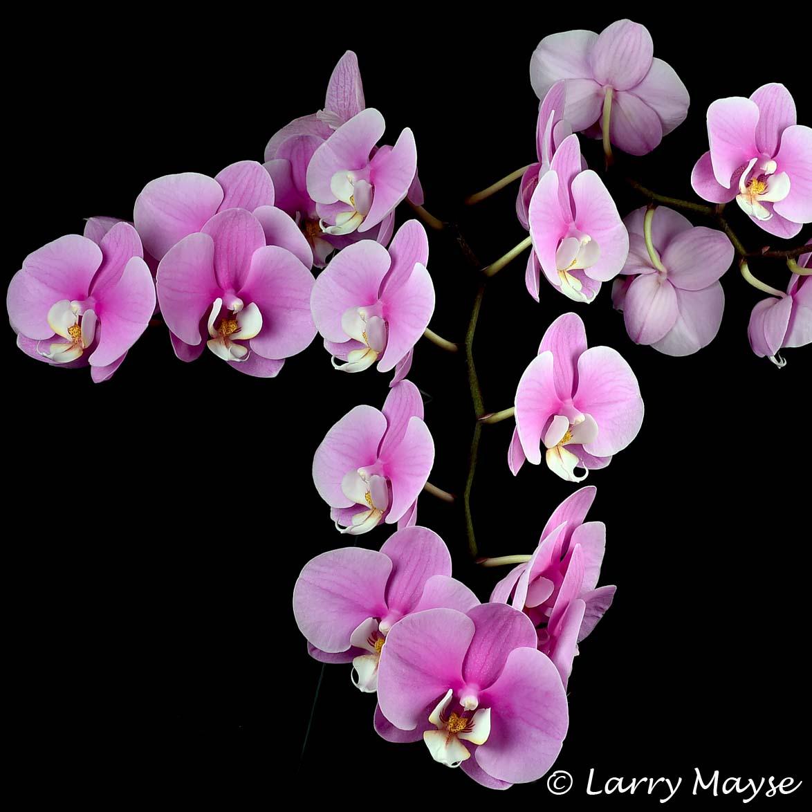 Phalaenopsis Taisuco Anna