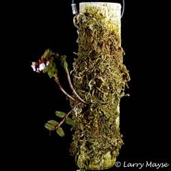 Appendicula laxifolia