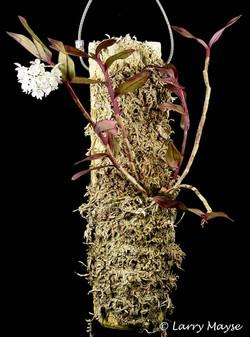Epidendrum hugomedinae