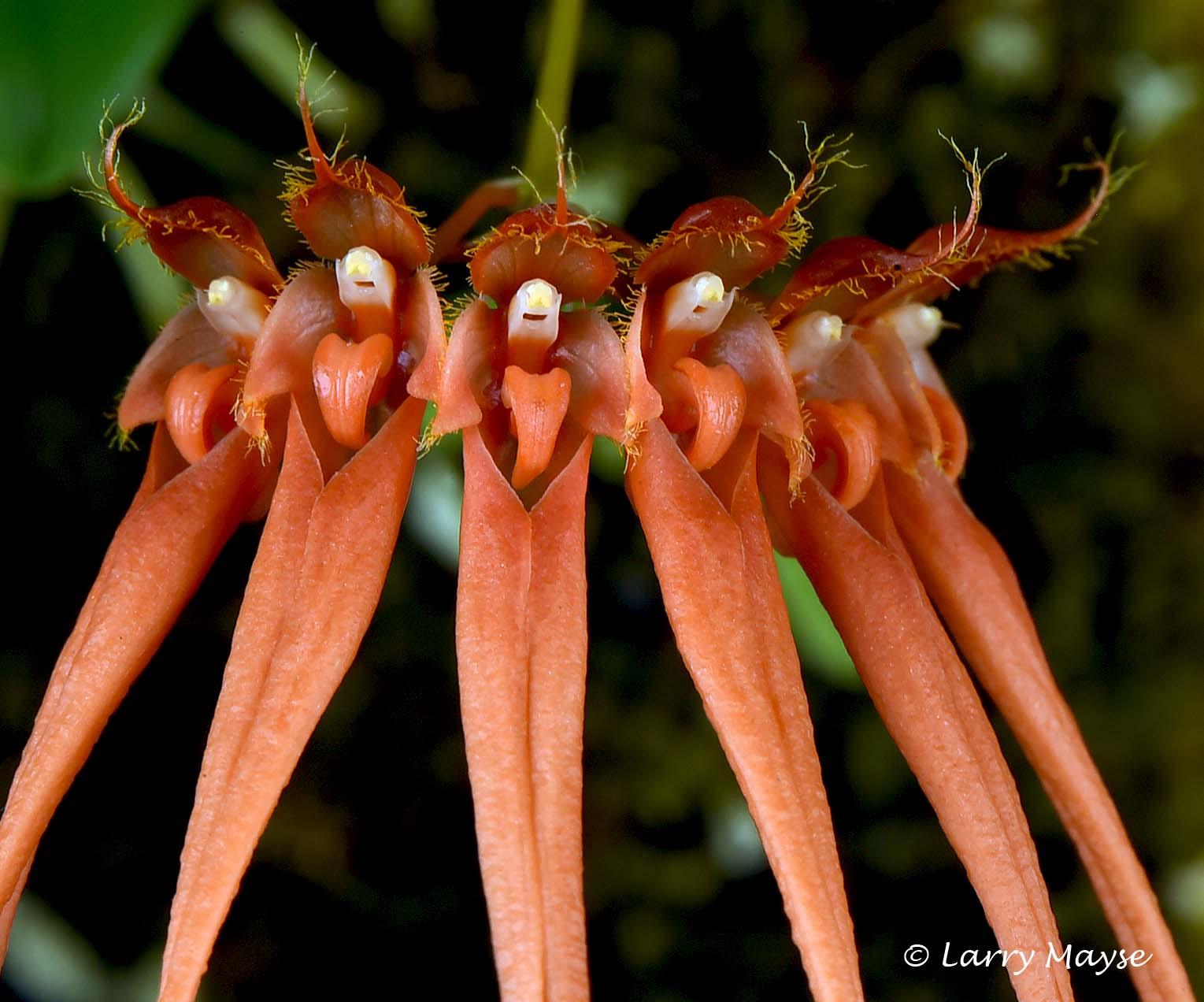 Bulbophyllum pecten-veneris