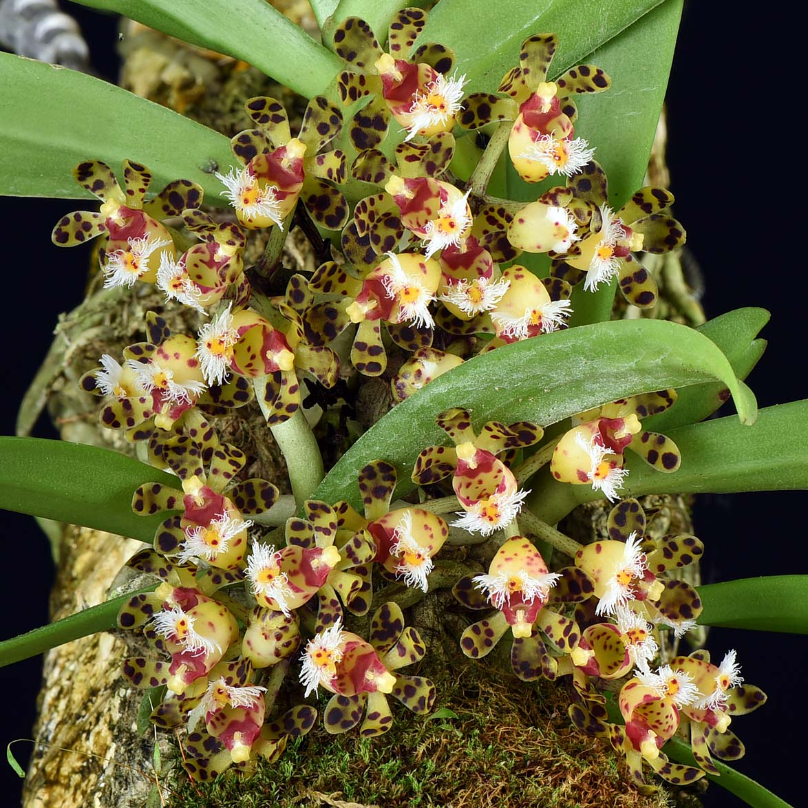 Gastrochilus bellinus