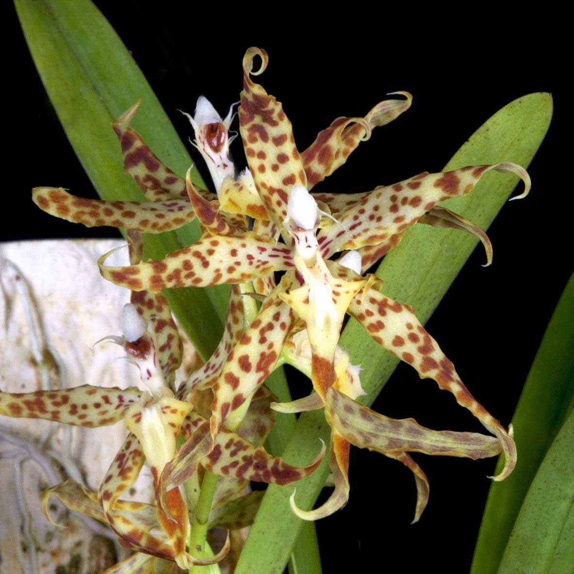 Oncidium praestanoides
