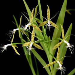 Epidendrum criniferum