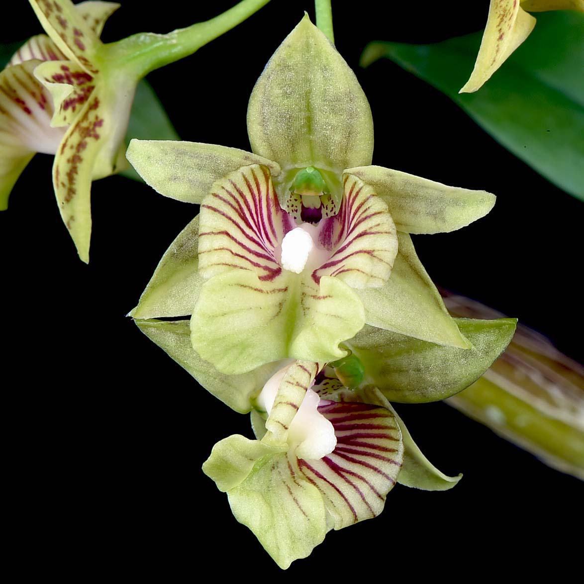 Dendrobium biloculare