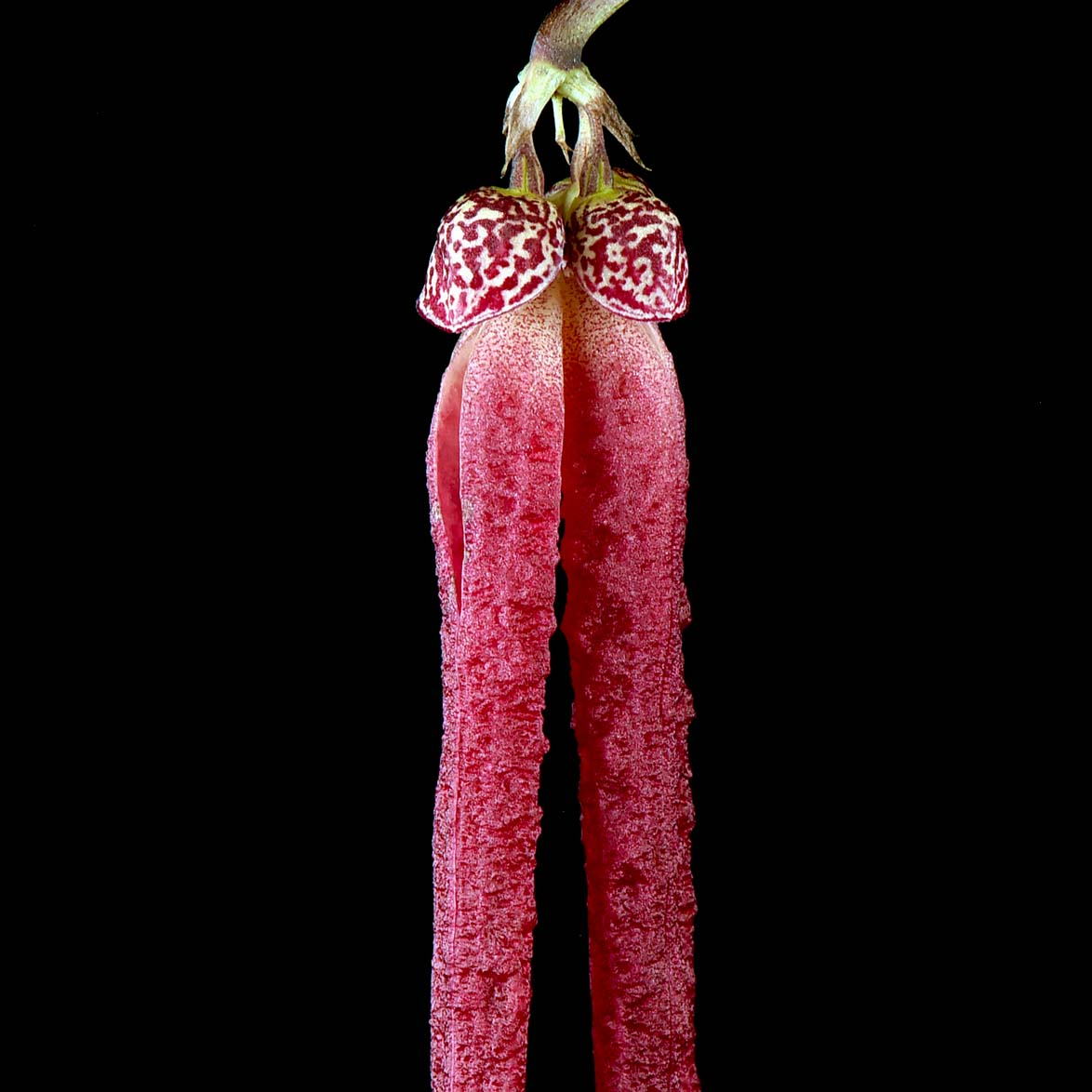 Bulbophyllum jacobsonii
