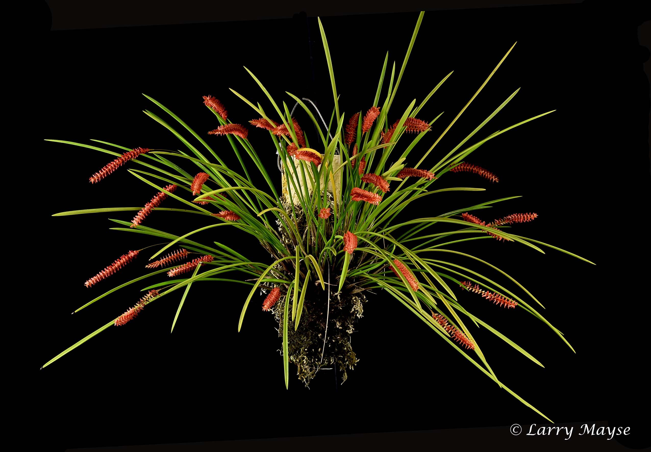Dendrochilum wenzeli