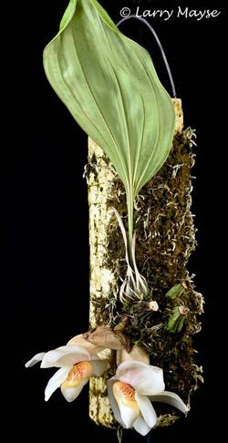 Stanhopea ecornuta