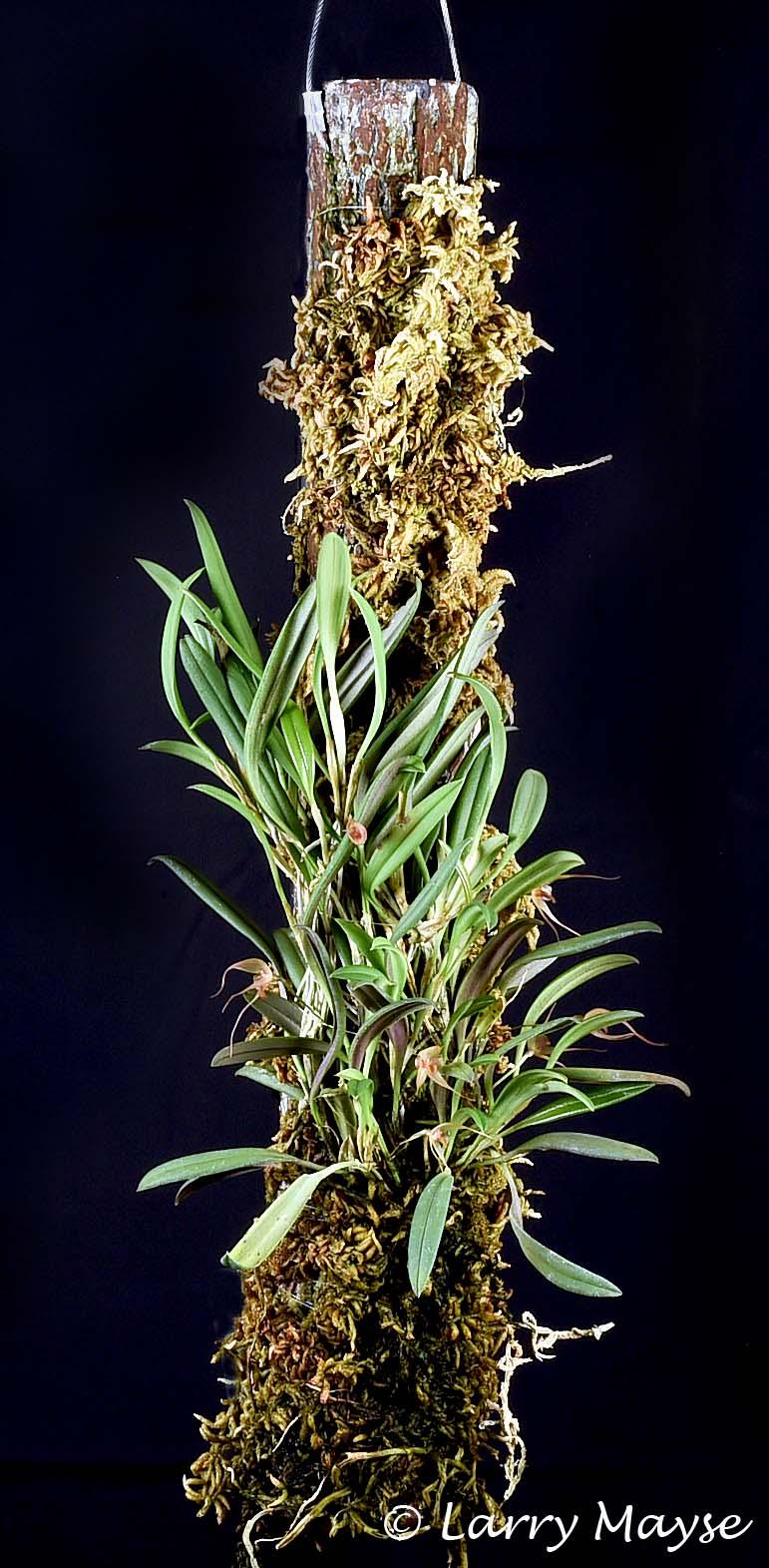 Pleurothallis masdevalliopsis
