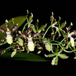 Oncidium maculatum
