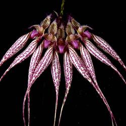 Bulbophyllum Lovely Elizabeth