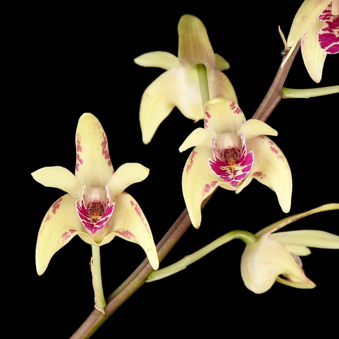 Dendrobium Jayden