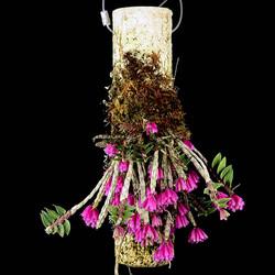 Dendrobium dichaeoides