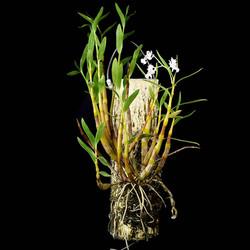 Dendrobium chalmersii