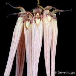 Bulbophyllum longissimum