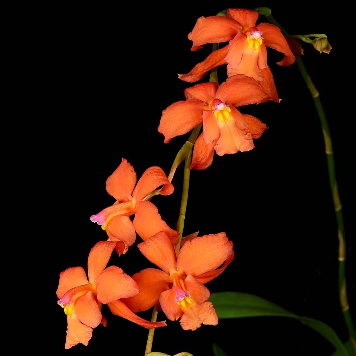 Oncidium noezlianum