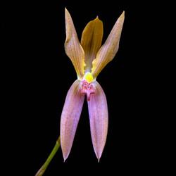 Mormolyca polyphylla