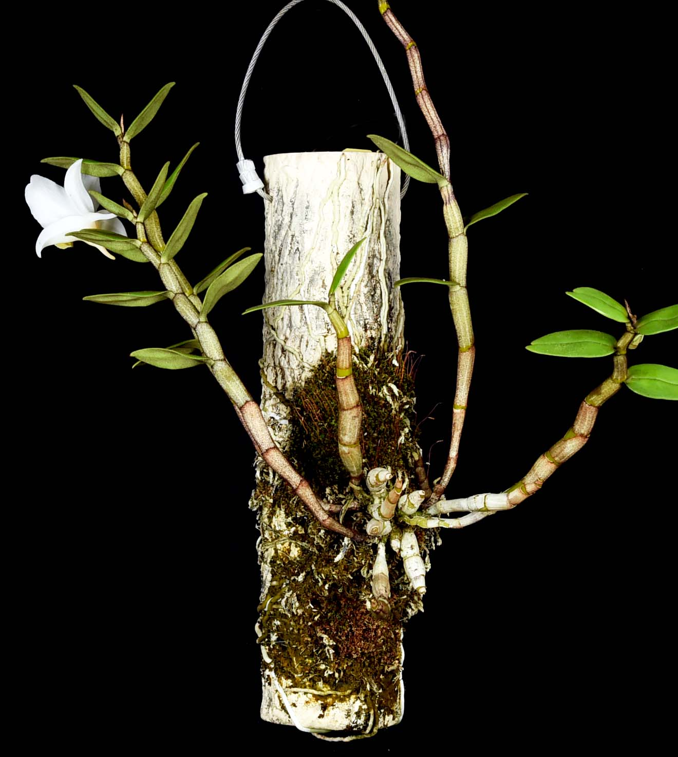Dendrobium ovipositoriferum