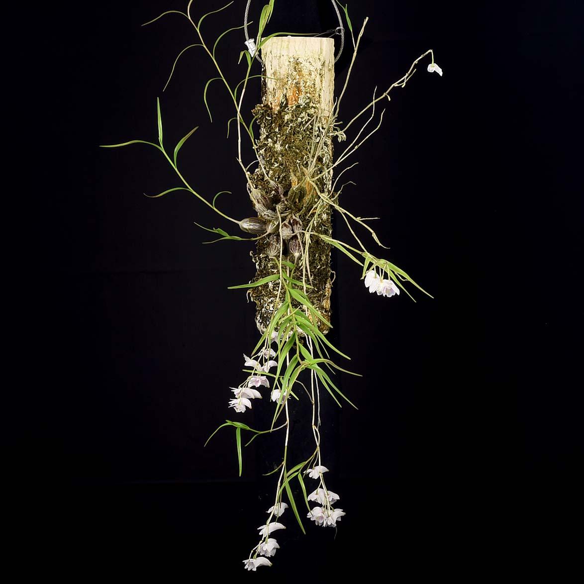 Dendrobium linearifolium