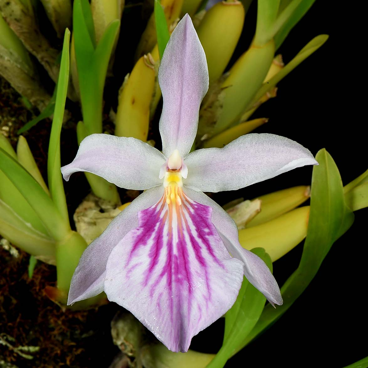 Miltonia spectabilis