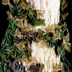 Epidendrum schlechterianum_