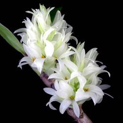 Dendrobium bracteosum var
