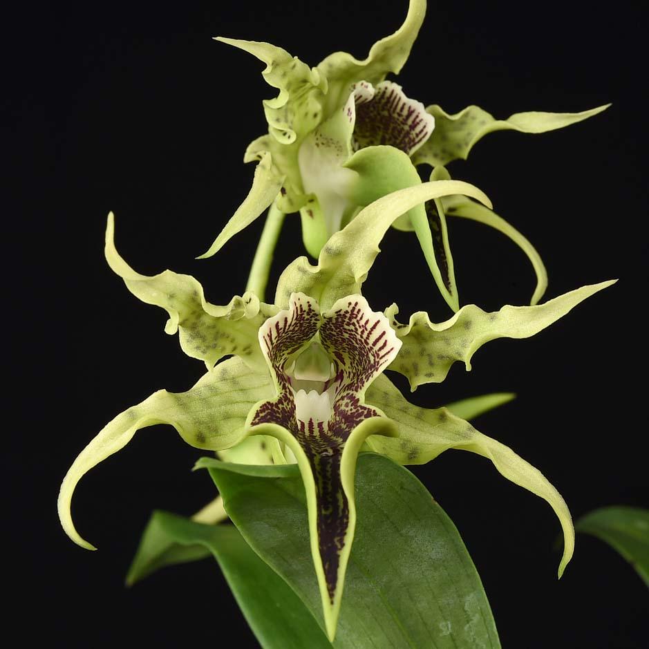 Dendrobium alexanderae