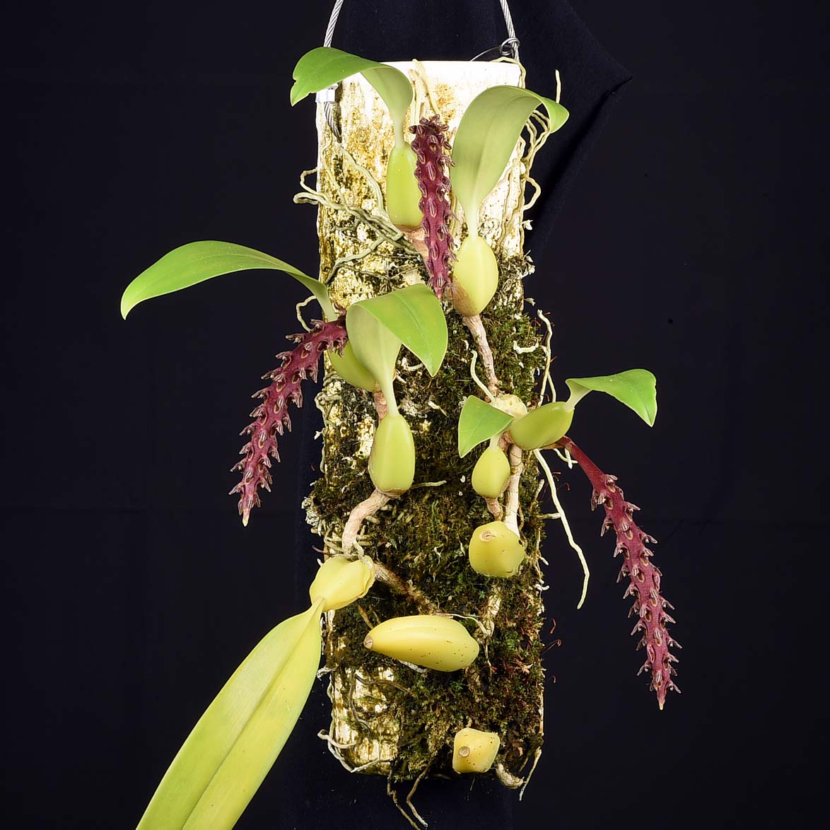 Bulbophyllum saurocephalum