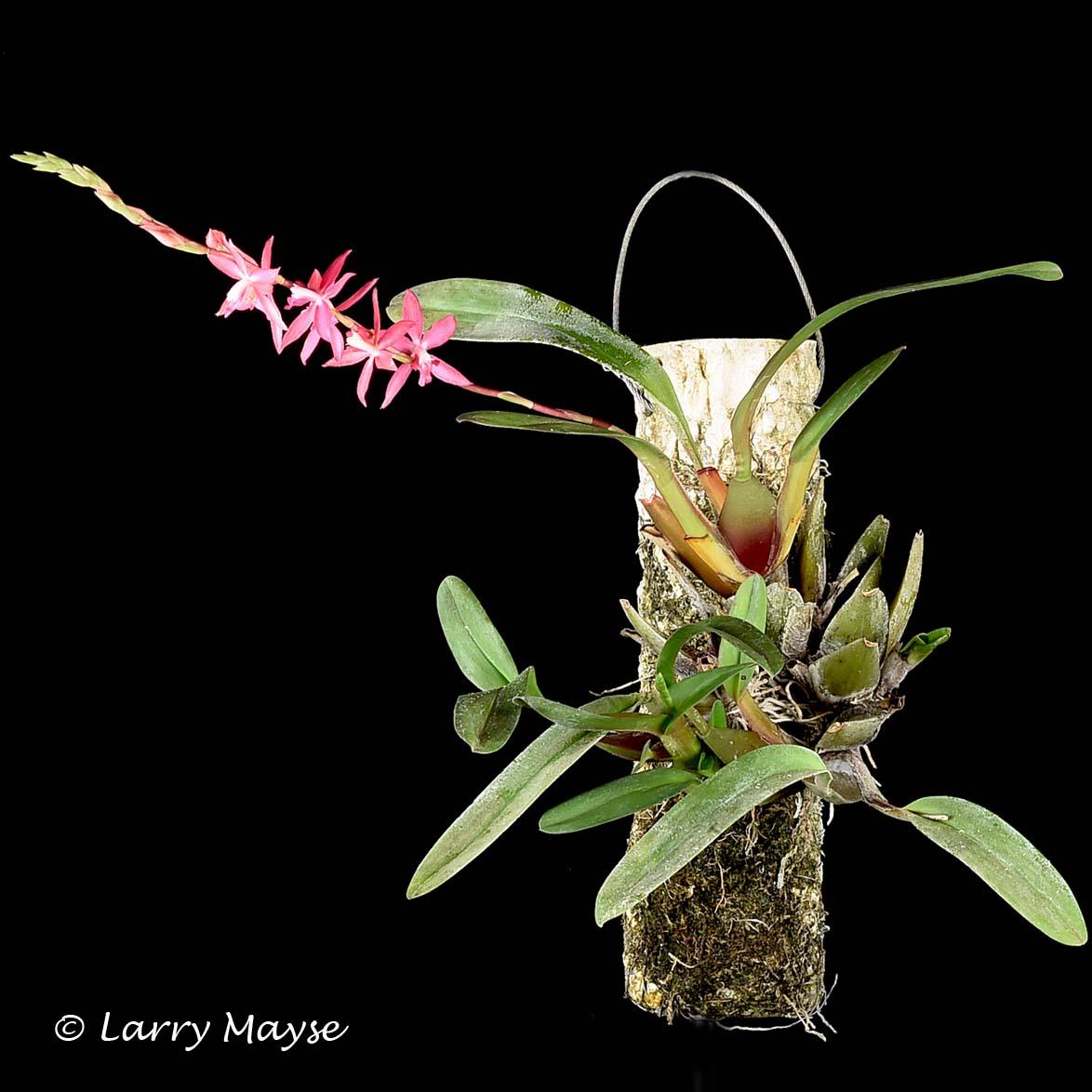 Oncidium roseum