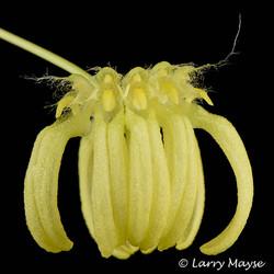 Bulbophyllum auratum var