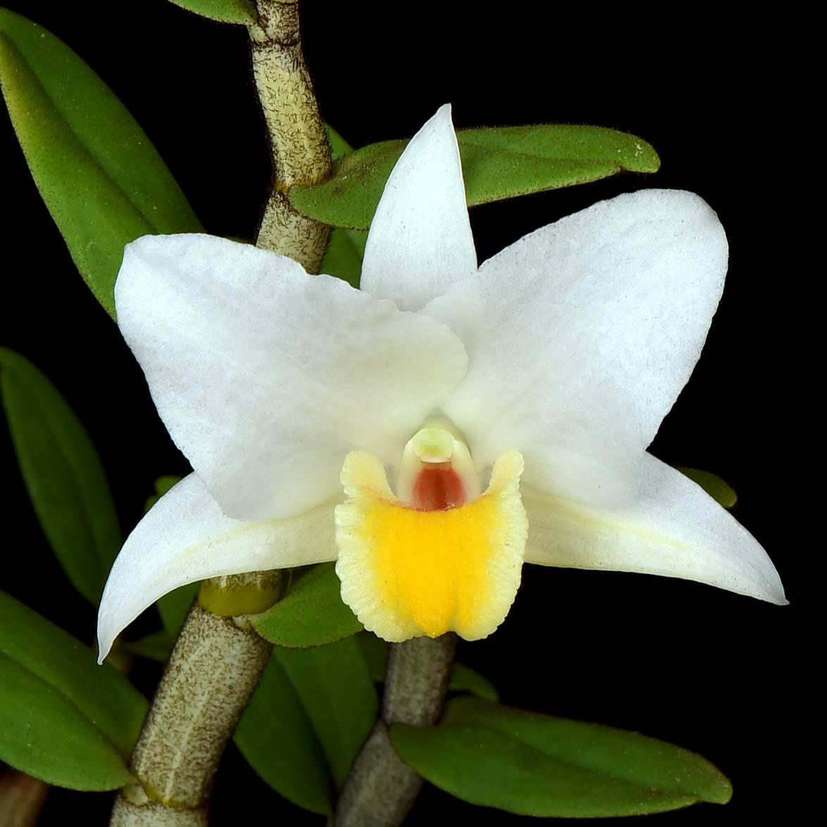 Dendrobium ovipositoriferum