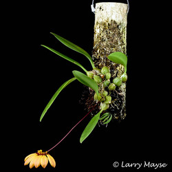 Bulbophyllum mastersianum
