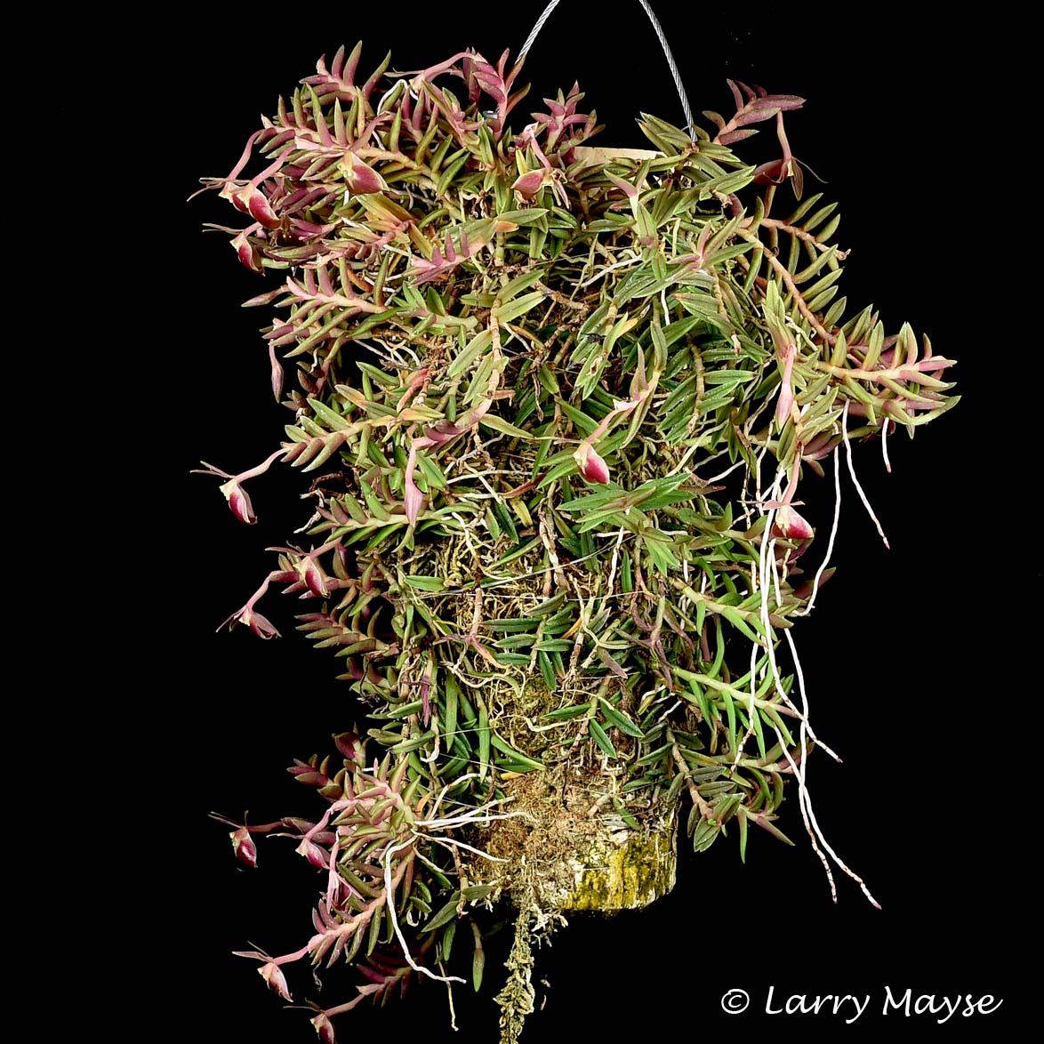 Epidendrum peperomia