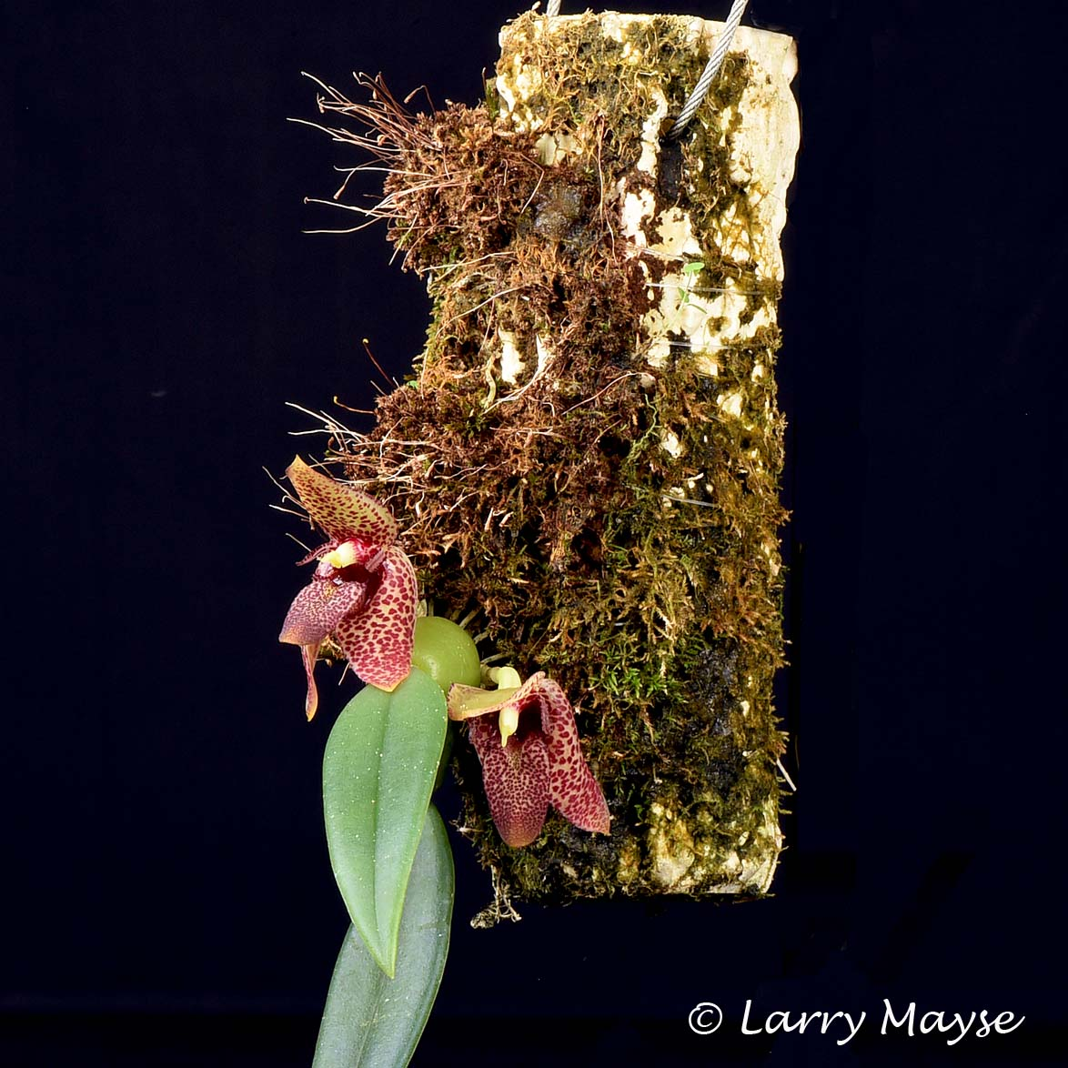 Bulbophyllum disciflorum