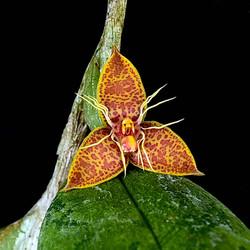 Bulbophyllum flavofimbriatum